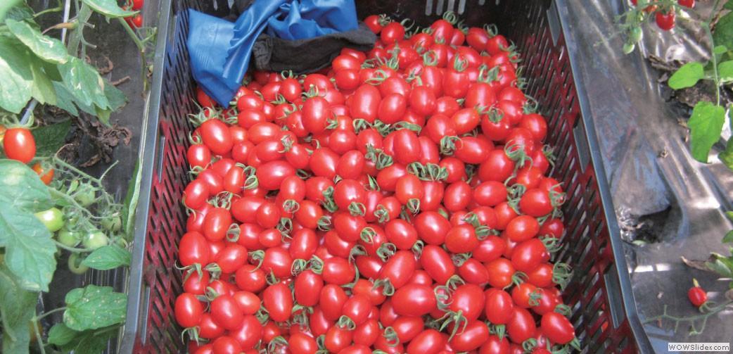 「2012年度熊本県農業コンクール」新人王&農林水産大臣賞を受賞したトマト